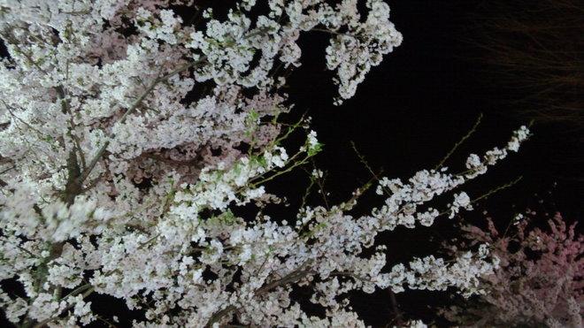 日光市桜満開 日光聖苑専門日光市民葬祭